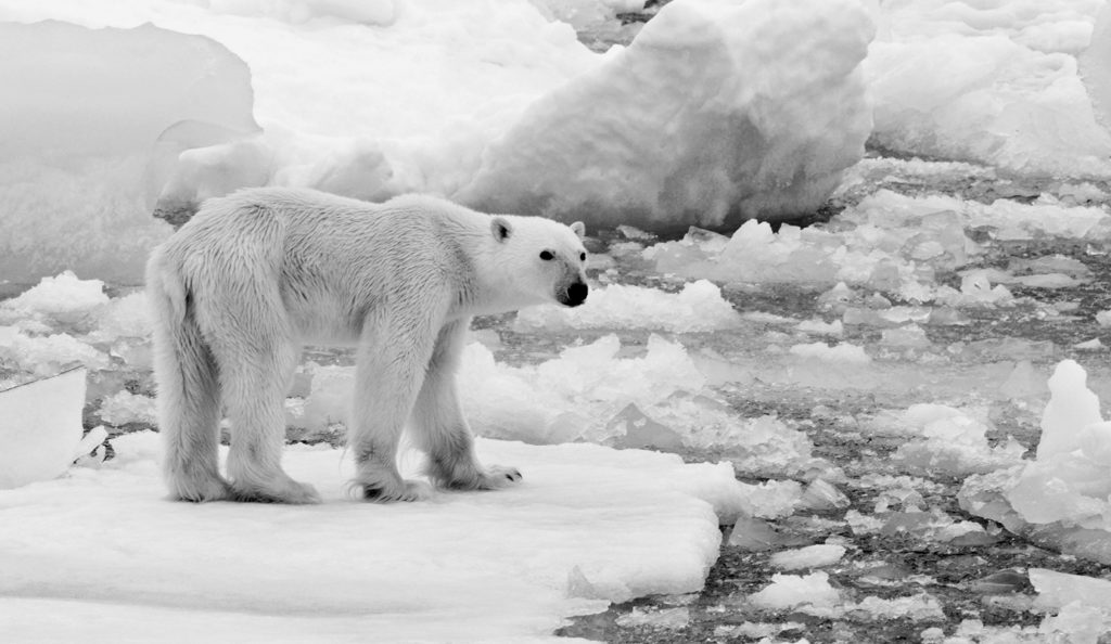 Photo d'un ours polaire émacié sur une banquise en train de fondre.
