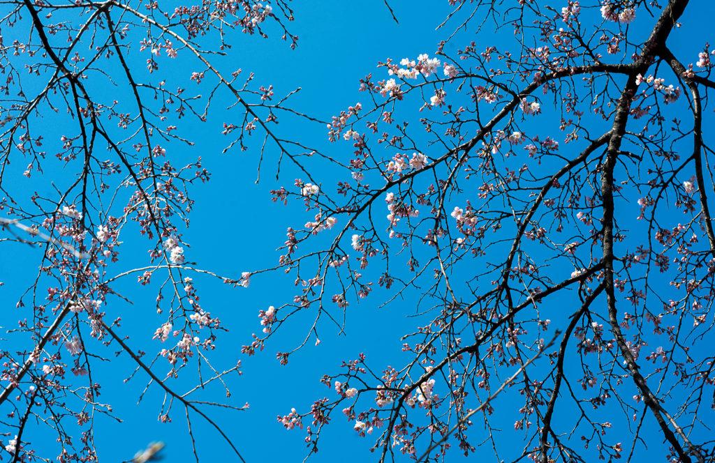 Fleurs de cerisier sur fond de ciel bleu.