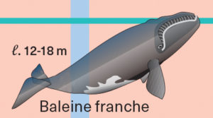 Illustration de baleine franche