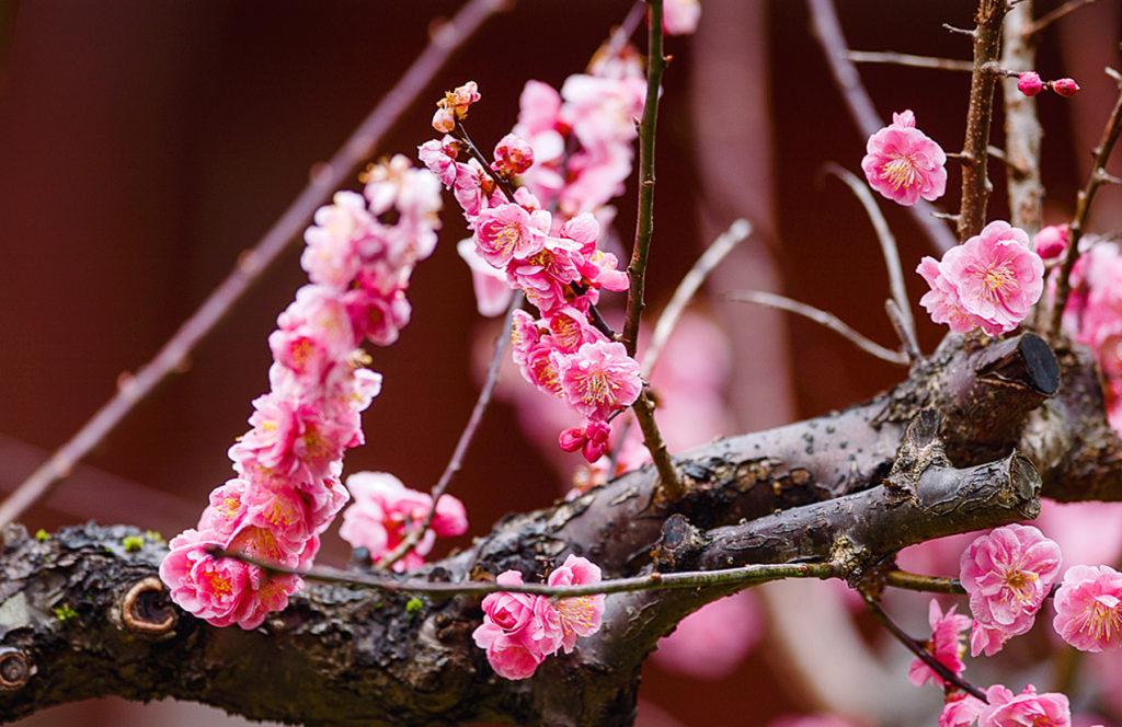 Une branche de cerisier ornée de fleurs rose vif.