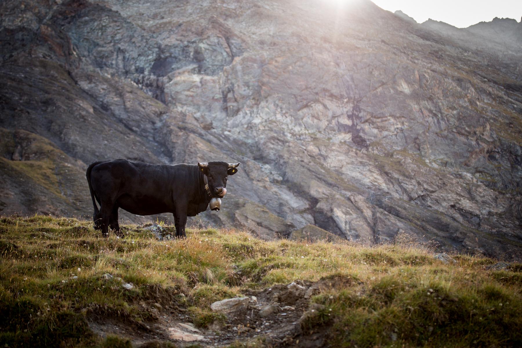 Photo d'une vache d'Herens dans un paturage.