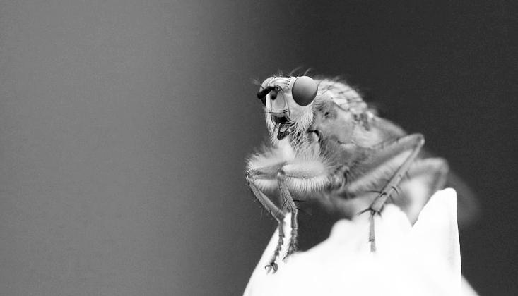 Image en gros plan d'une drosophile