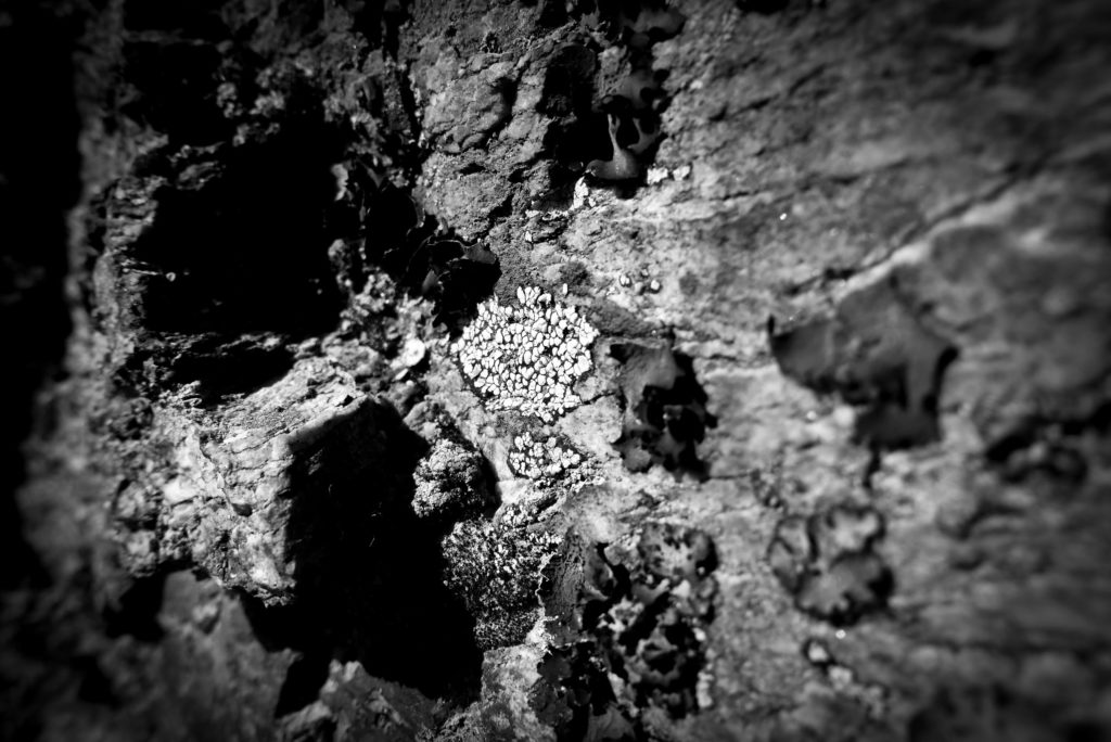 Photo noir / blanc de lichen de type rhizocarpon geographicum