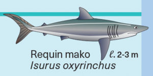 Illustration de requin mako