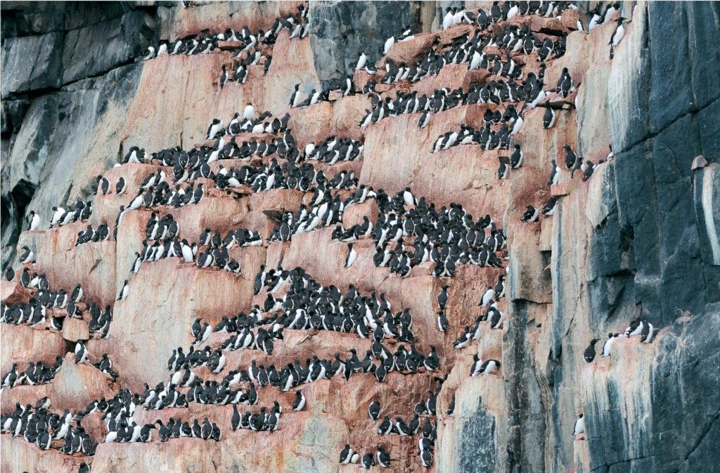 Photo d'une colonie de guillemots sur une falaise du Spitzberg.