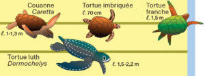 Illustration de tortues