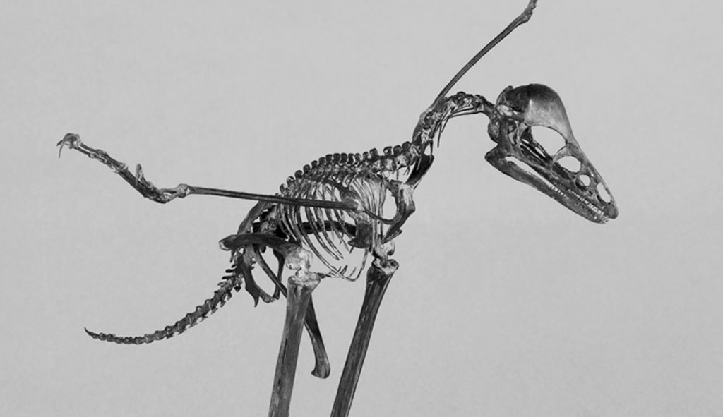 Squelette d'anchiornis