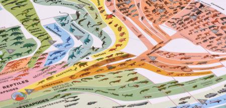 Arbre généalogique des vertébrés, tiré de l'ouvrage «Atlas des vertébrés: de leurs origines à nos jours», d'Arthur Escher et Robin Marchant.