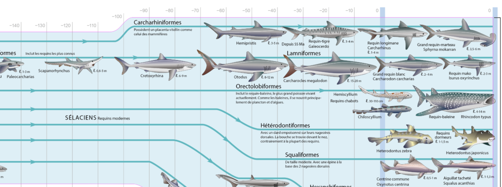 Illustration représentant l'évolution des poissons cartilagineux